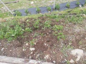 Maltempo e grandine rovinano le fragole in Valcamonica